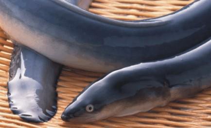 外媒称中国在毒水中养鱼 福建鳗鱼出口可能垮掉图片